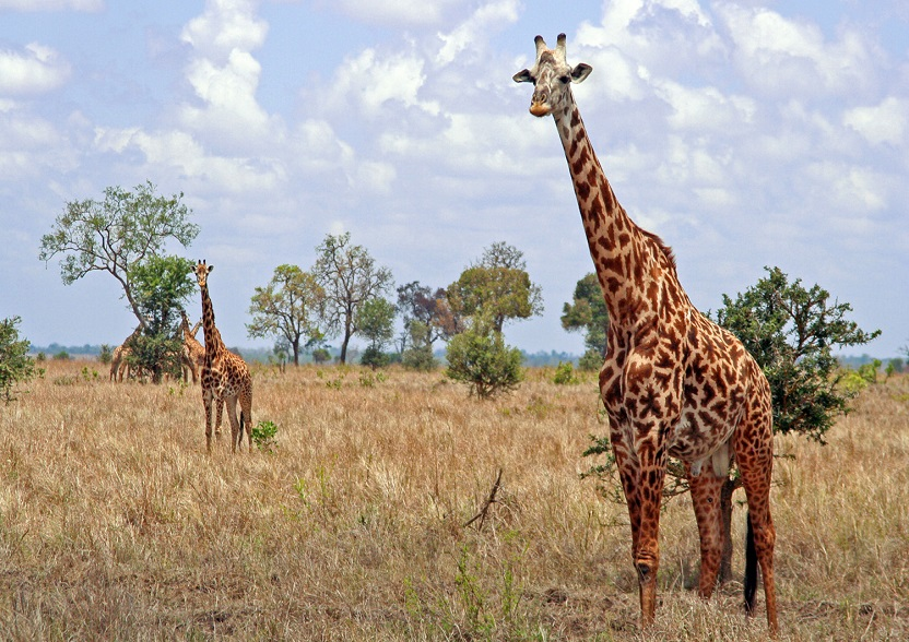 <h3 class='general-font title small white text-uppercase text-center'>Tarangire National Park</h3>                              <p class='general-font small white text-justify'>The Tarangire National Park is located one hundred kilometres from Arusha town; the landscape is quite green: around the river there are extensive marshes and floodplains. The park hosts zebras, wildebeest and several species of gazelles, buffalo, giraffes, elephants, lions and cheetahs.</p>